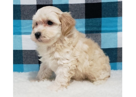 Adorable Maltipoo puppies available